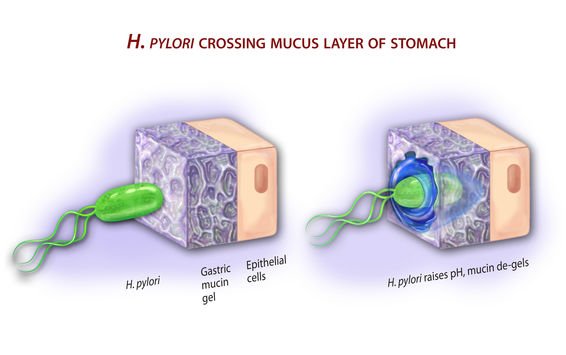 H. Pylori bacteria crossing mucus layer of the stomach